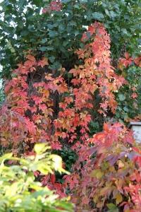 autumn colours tumbling down our tree