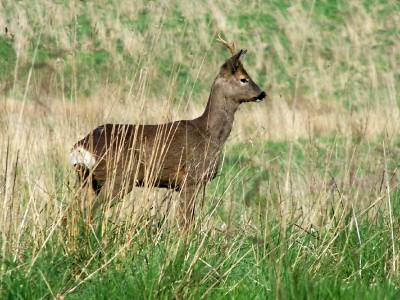 Roe_deer_May2006