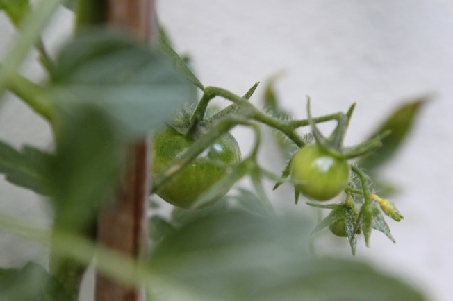 baby tomatoes